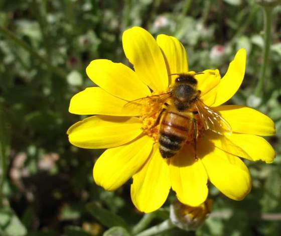 Daisy-with-Bee-A-honeybee-on-a-yellow-daisy