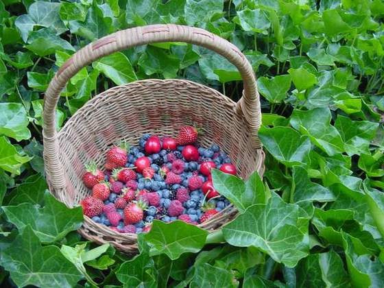Fresh Berries (Early summer is berry time at Sandy Bar Ranch!)
