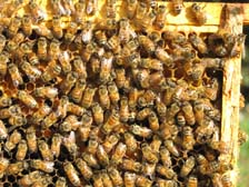 Honeybees (We have several bee hives that help pollinate our crops and provide honey and pollen)
