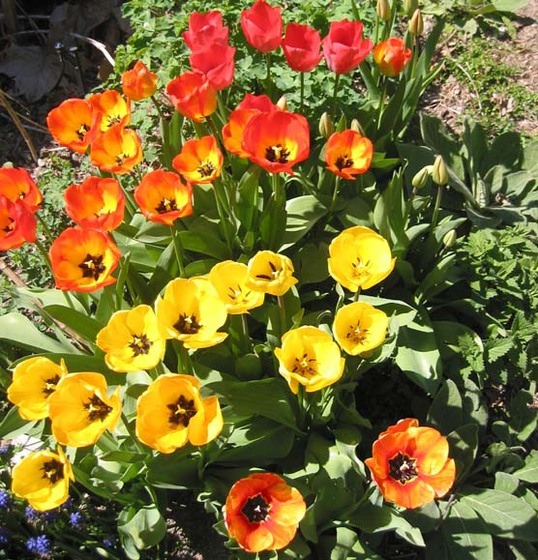 Spring Tulips (Our gardens are bursting with color in the Spring)