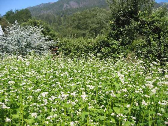 Summer Cover Crop (We use buckwheat as a summer cover crop to feed the soil, attract beneficial insects and provide pollen and nectar for our honeybees.)